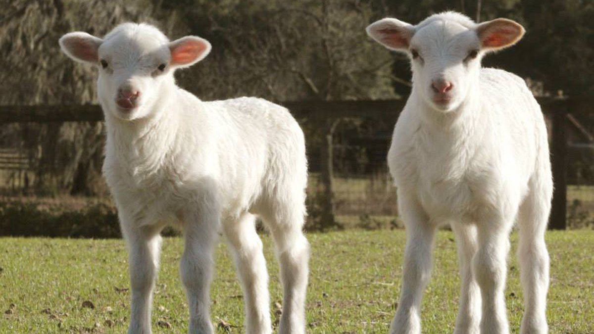 Florida Cracker Sheep | Breeder Directory